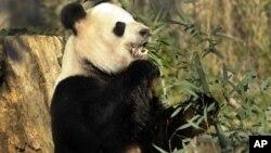 Tian Tian es uno de los pandas que vive en el Zoológico Nacional del Smithsonian en Washington.