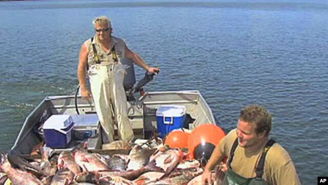 Commerical fisherman Chad Isaak and a partner haul in a boatload of invasive Asian Carp, Jul 2010