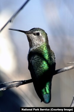 A hummingbird in Big Bend National Park