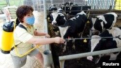 Seorang peternak Korea Selatan menyemprotkan disinfektan di peternakannya untuk mencegah penyakit kuku dan mulut (foto: dok).