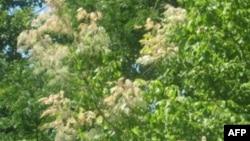 ამერიკული პეპლის მიერ გურიაში დაზიანებული ხე