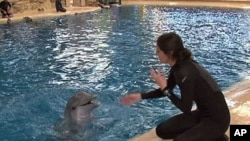 Melissa Zabojnik, a senior keeper at the Seven Seas exhibit, works with the Brookfield Zoo's youngest dolphin, March 2011