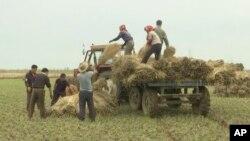 지난 10월 북한 황해남도에서 농부들이 곡식을 수확하고 있다. 북한 동영상 화면을 캡처했다.