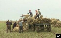 지난해 10월 북한 황해남도에서 농부들이 볏단을 싣고 있다.