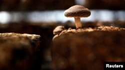 FILE - A shiitake mushroom is seen inside a greenhouse at the Anzai family farm in northern Japan, April 5, 2011.