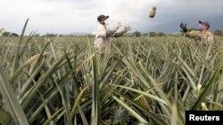 Pekerja Kolombia bekerja di perkebunan nanas di Pradera (foto: dok). Ilmuwan mempelajari genetika tanaman nanas untuk menghasilkan tanaman yang tahan terhadap kekeringan akibat kemarau.