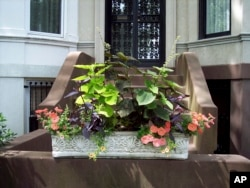 This window box is on the front steps to a brownstone home Brooklyn, NY. The owners entered their window box in the Greenest Block in Brooklyn contest. (Undated photo by Brooklyn Botanic Garden via AP,)