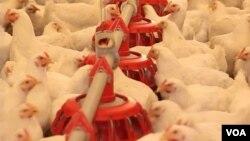 U BiH je porastu trend izvoza prerađevina od pilećeg mesa, jaja, mesa perad i žive peradi