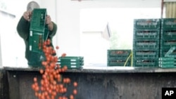 "An employee of ""Werder Frucht"" vegetables company throws away tomatoes in Werder, eastern Germany, June 7, 2011"