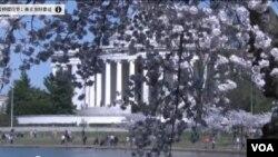 美國首都華盛頓正在慶祝年度櫻花節。