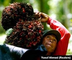 Seorang pekerja membawa buah sawit di pundaknya saat panen di sebuah perkebunan di Kabupaten Luwu, Provinsi Sulawesi Selatan, 11 Agustus 2009. (Foto: REUTERS/Yusuf Ahmad)