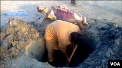 وائلڈ لائف حکام کی ہدایت پرکچھوے کی تدفین کے لئے گڑھا کھودا جارہا ہے