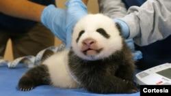 Panda bebé de Washington será bautizado el próximo 1 de diciembre.