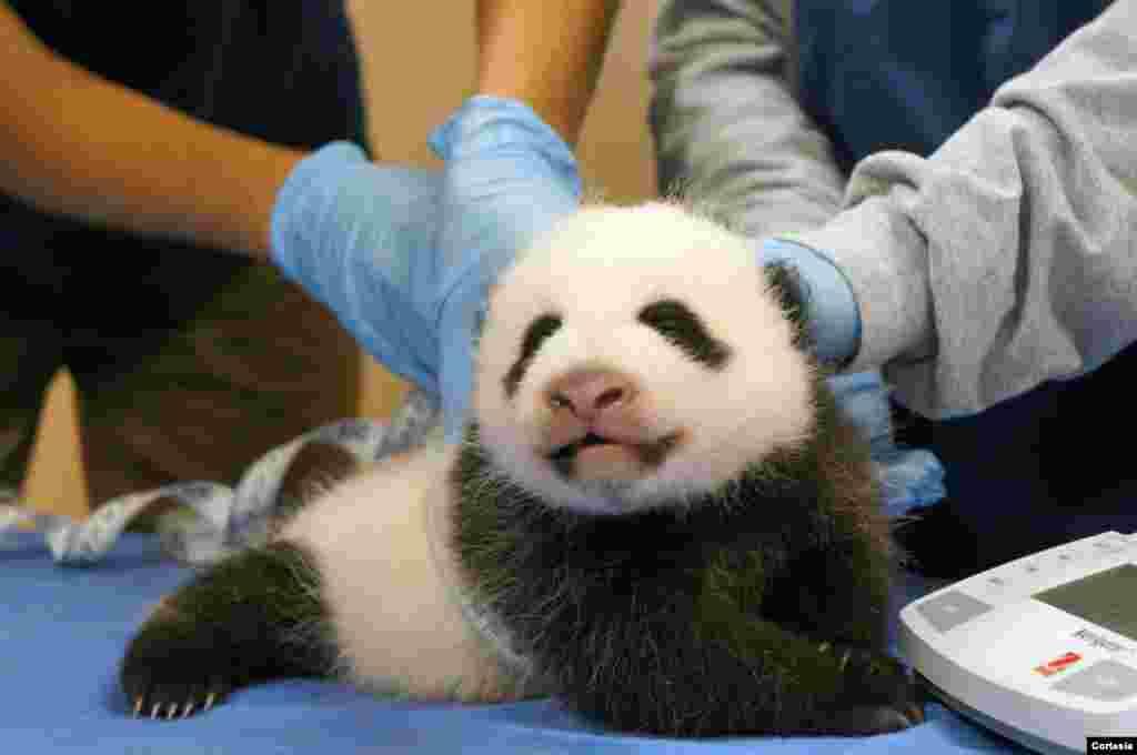 El hábitat de los pandas en el Zoológico Nacional está cerrado al público por ello se ha conectado una cámara de video en vivo para poder observar sus movimientos y comportamientos, tanto de la mamá como del bebé panda.