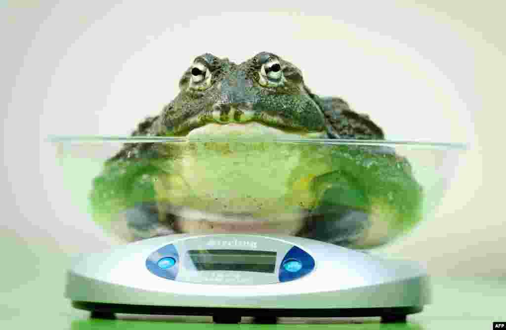 Afrička žaba prilikom svakogodišnjeg dana vaganja životinja u londonskom zoološkom vrtu.