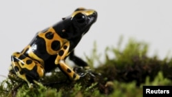 A Dendrobates leucomelas frog is pictured at a terrarium in Caracas November 30, 2015.