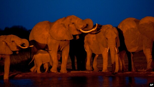 Elephants gather at the end of the day to drink at a watering hole in Tsavo East National Park, Kenya.
