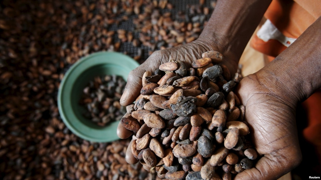 FILE - A worker holds cocoa beans at SAF CACAO, a export firm in San-Pedro, Ivory Coast, Jan. 29, 2016.