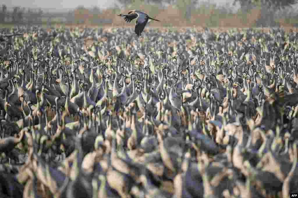 Gray cranes flock together at the Agamon Hula Lake in the Hula Valley in northern Israel.