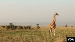 Uganda's Kidepo National Park was inaccessible to tourists for decades. (Hilary Heuler for VOA)