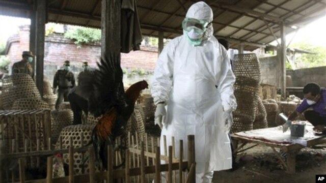 Petugas di Bali mengawasi pemusnahan unggas untuk mencegah penyebaran flu burung. (Foto: Dok)