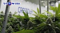 Manchetes Americanas 26 Junho: Illinois é agora o decimo primeiro estado americano a legalizar o uso recreativo da marijuana