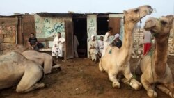 Market Flooded with Camels as Eid al-Adha Approaches