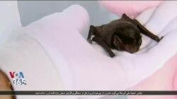 تولید کنندگان انگور و شراب در استرالیا از یک خفاش برای آفت کشی استفاده کردند