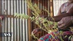 Des agriculteurs sénégalais cultivent du cannabis