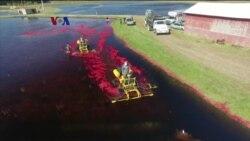 Petani Cranberry Alihkan Lahan Untuk Energi Surya