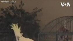 Snowball - chú vẹt 'thần đồng' trong làng nhảy múa