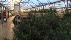 En riesgo tradición de árboles naturales de Navidad