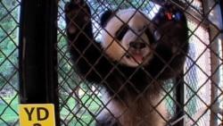 Proyecto de conservación de pandas
