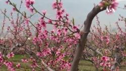 آغاز فصل بهار و امیدواری باغداران برای برداشت محصولاتبهتر