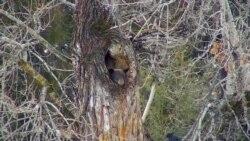 ԱՌԱՆՑ ՄԵԿՆԱԲԱՆՈՒԹՅԱՆ. Քնկոտ արջը ծառի մեջ