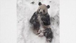 Nieve: felicidad total para el panda de Washington