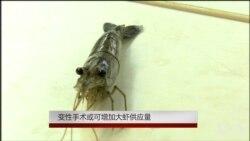 变性手术或可增加大虾供应量