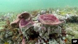 Spons vas ungu diperlihatkan dalam foto bawah air yang diambil saat menyelam scuba di Suaka Kelautan Nasional Gray's Reef, 28 Oktober 2019. (Foto: AP)