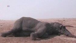 Đi bộ 900km nâng cao nhận thức về săn trộm voi