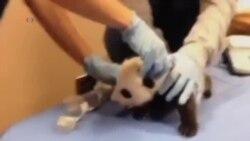 華盛頓大熊貓幼胎重現螢幕