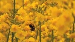 Kontroverzni insekticid šteti populaciji divljih pčela