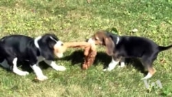 Scientists Produce First Test Tube Puppies