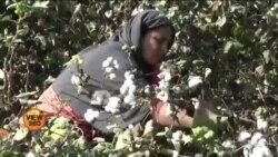 کپاس کی پیداوار میں ریکارڈ کمی سے پاکستانی کسان پریشان