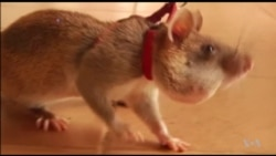 Rats Trained to Find Landmines in Cambodia