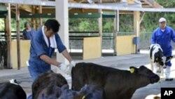 照片攝於上星期四你福島核電站50公里處的一個奶牛市場