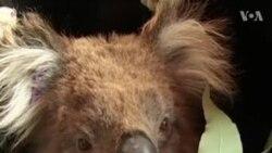 NO COMMENT. Ավստրալիայում կոալաների չափազանց մեծ թիվը վերահսկելու համար նրանց մի մասին տեղափոխում են