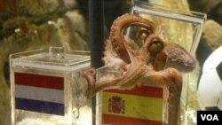 El pulpo adivinaba los resultados eligiendo entre dos urnas de plástico con la bandera de un país, en las que había comida, como en la final entre España y Holanda.