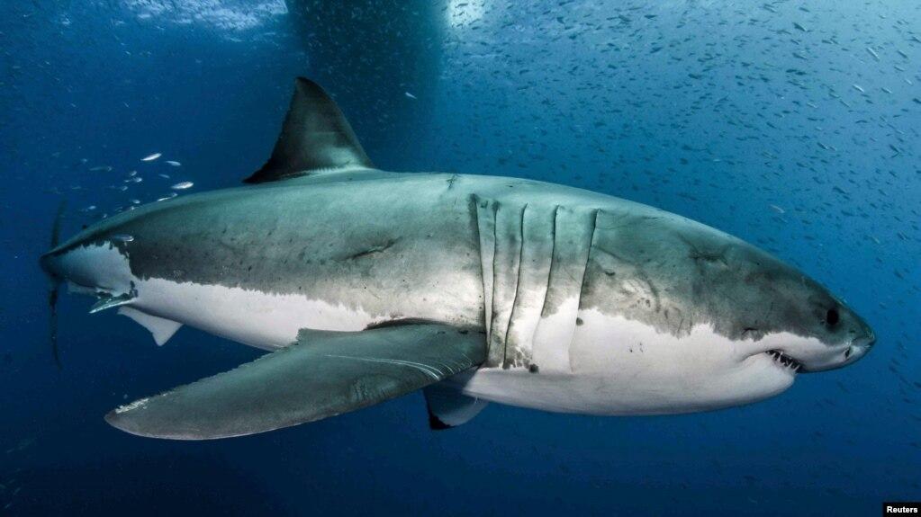 Un gran tiburón blanco en aguas cercanas a la Isla Guadalupe, en el Pacífico mexicano. 18-2-19. Byron Dilkes/Danah Divers/Handout via REUTERS.