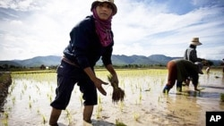 Thai farmers plants a rice crop near Mae Sariang, Thailand, file photo.