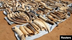 Ivory tusks are displayed after being seized by security forces at the port of Lome, Togo, Jan. 28, 2014.